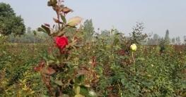 সাদুল্লাপুরের কৃষকরা ফুল চাষে আগ্রহী হয়ে উঠেছেন
