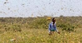 আফ্রিকায় পঙ্গপালের হানায় শেষ মাঠের পর মাঠের ফসল