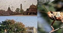 দিল্লিতে ঢুকে পড়েছে লাখো পঙ্গপাল