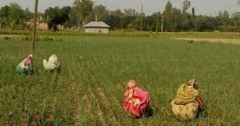 চলতি মওসুমে পীরগঞ্জে পেয়াঁজ চাষে ঝুঁকেছে কৃষকরা