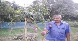 বদরগঞ্জে বিশ্বের সবচেয়ে দামী আম 'মিয়াজাকি'