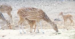 রামসাগরে মিনি চিড়িয়াখানায় যুক্ত হলো নতুন ৮ হরিণ