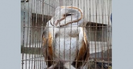রংপুরে বিলুপ্ত প্রজাতির লক্ষ্মী প্যাঁচা উদ্ধার