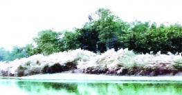 বদরগঞ্জেযমুনেশ্বরী নদীর তীরে অপরূপ কাশফুল