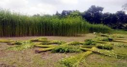 দিনাজপুরে বৃষ্টির অভাবেপাট জাগ দিতে পারছেন নাকৃষকরা